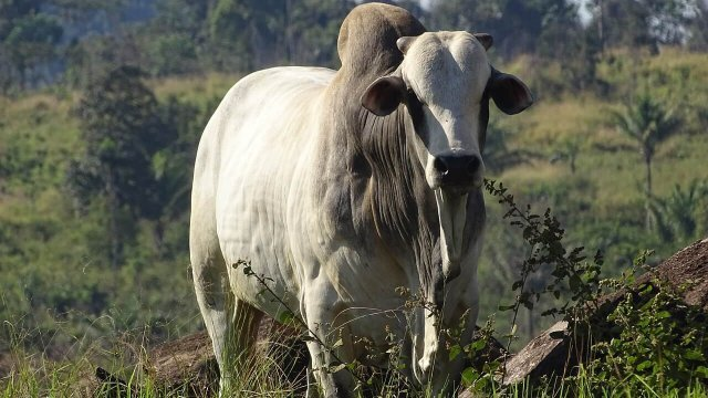 Receita de ração para engorda de gado de corte: terminação
