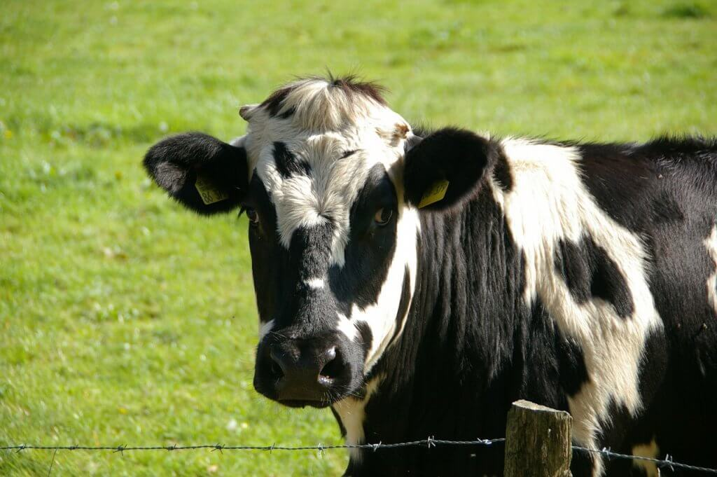 tétano em bovinos