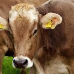 Ureia pecuária para bovinos: cuidados no uso