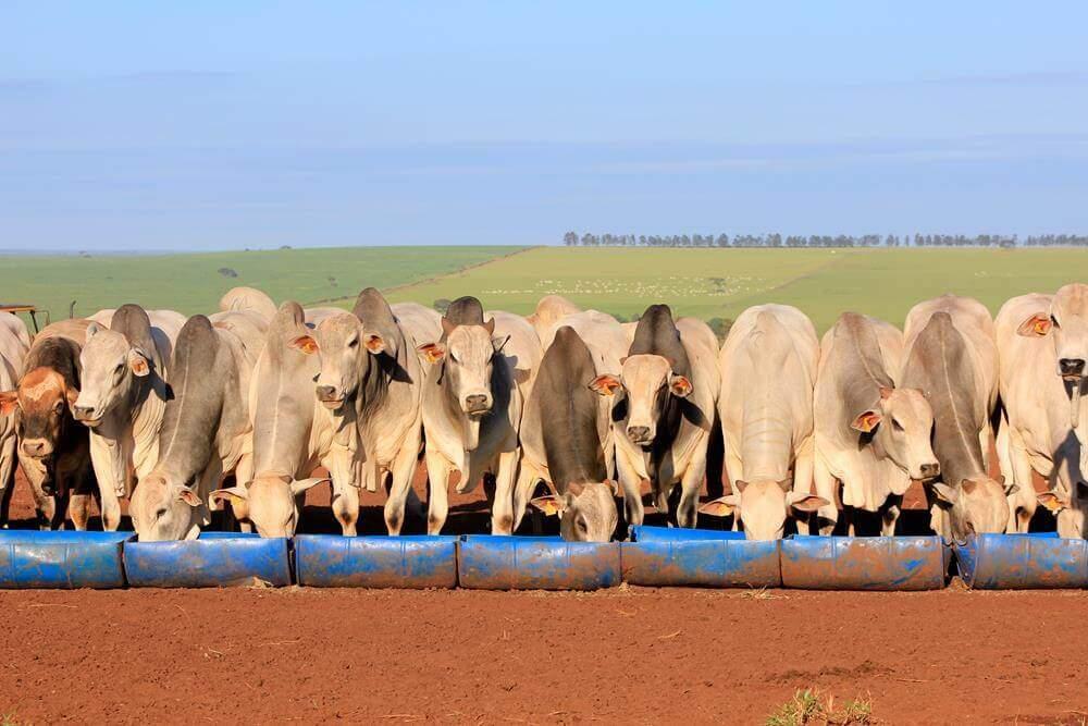 Confinamento a pasto aumenta o peso do gado na fase de terminação