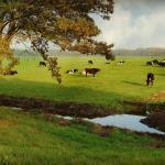 Sistema ILPF aumenta a arroba do gado?