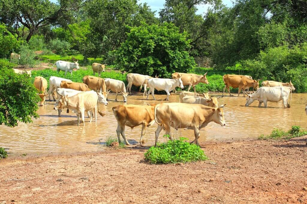 alimentação para bovinos na seca