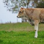 Por que usar suplemento para bovinos na seca?