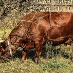 Como fornecer alimentação para bovinos na seca