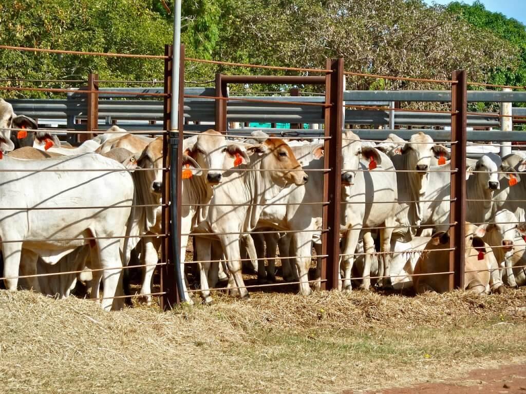 cocho para ração de bovinos