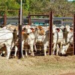 Melhor horário para abastecer o cocho para ração de bovinos