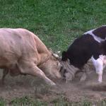 Como fazer a lida de gado arisco