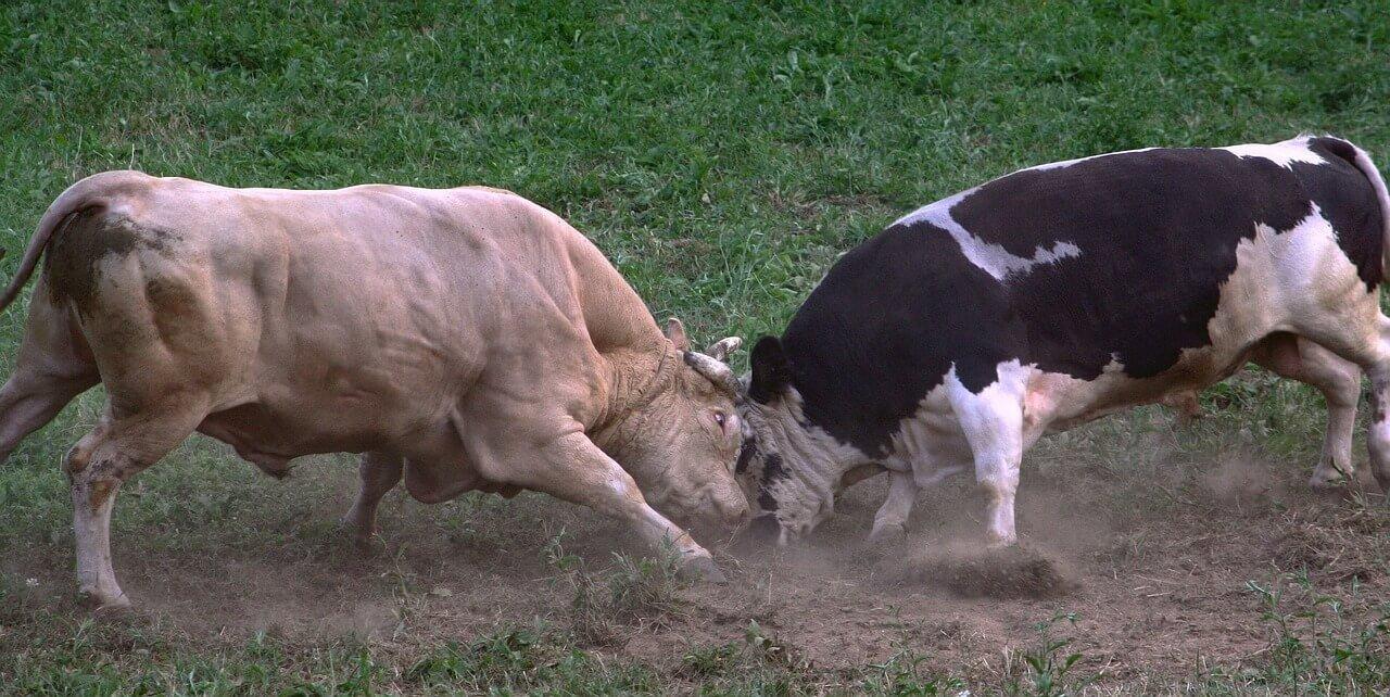 sComo fazer a lida de gado arisco