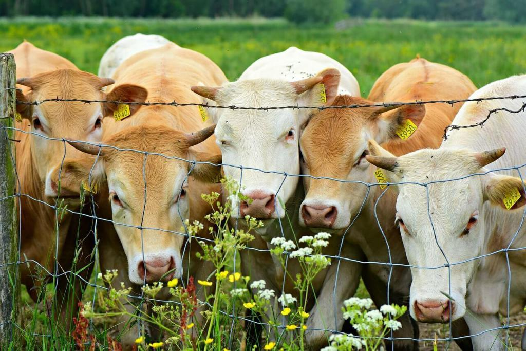 lotes de gado de corte