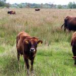 Como saber se estou pesando gado no dia certo?