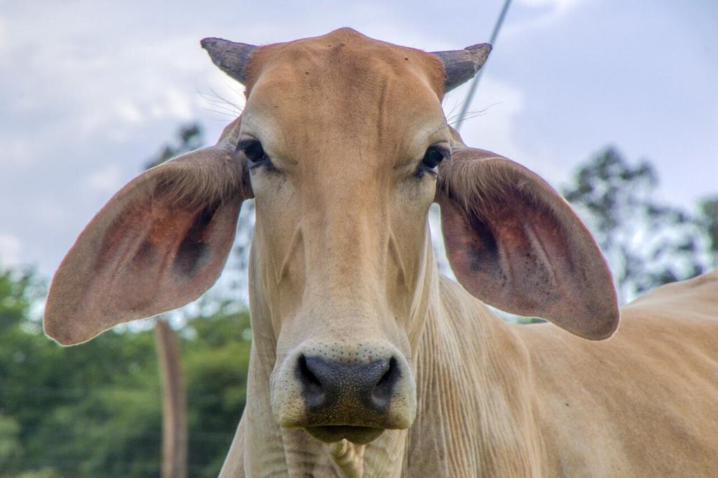 Como preparar ração para gado de corte: melhor suplemento