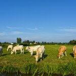 Melhor estratégia nutricional para terminação de bovinos de corte