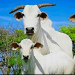 Problemas mais comuns na gestação de vaca de cria