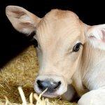 Como a ração ideal para novilhas afeta o ciclo de reprodução?