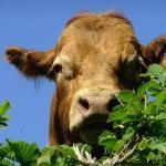 Boi no pasto: como saber se está fazendo hora extra?