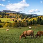 Manejo de pastagem para gado de corte: calor latente