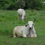 Criação de gado de corte: efeitos da virginiamicina e monensina