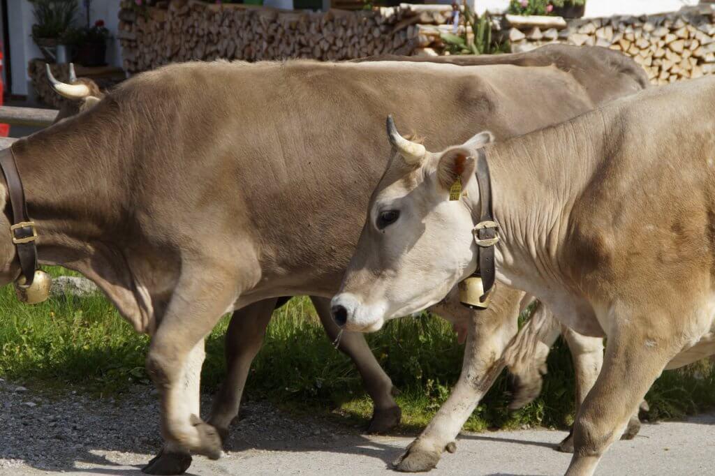 gado compensatório em bovinos