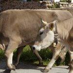 O que é ganho compensatório em bovinos?