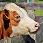 Qual a melhor nutrição para garrote bovino?