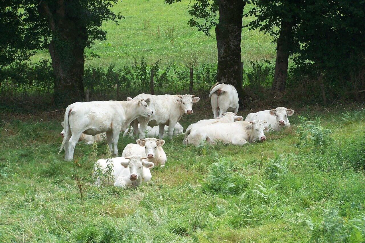 Terminação x peso vivo: alimentação do gado de corte