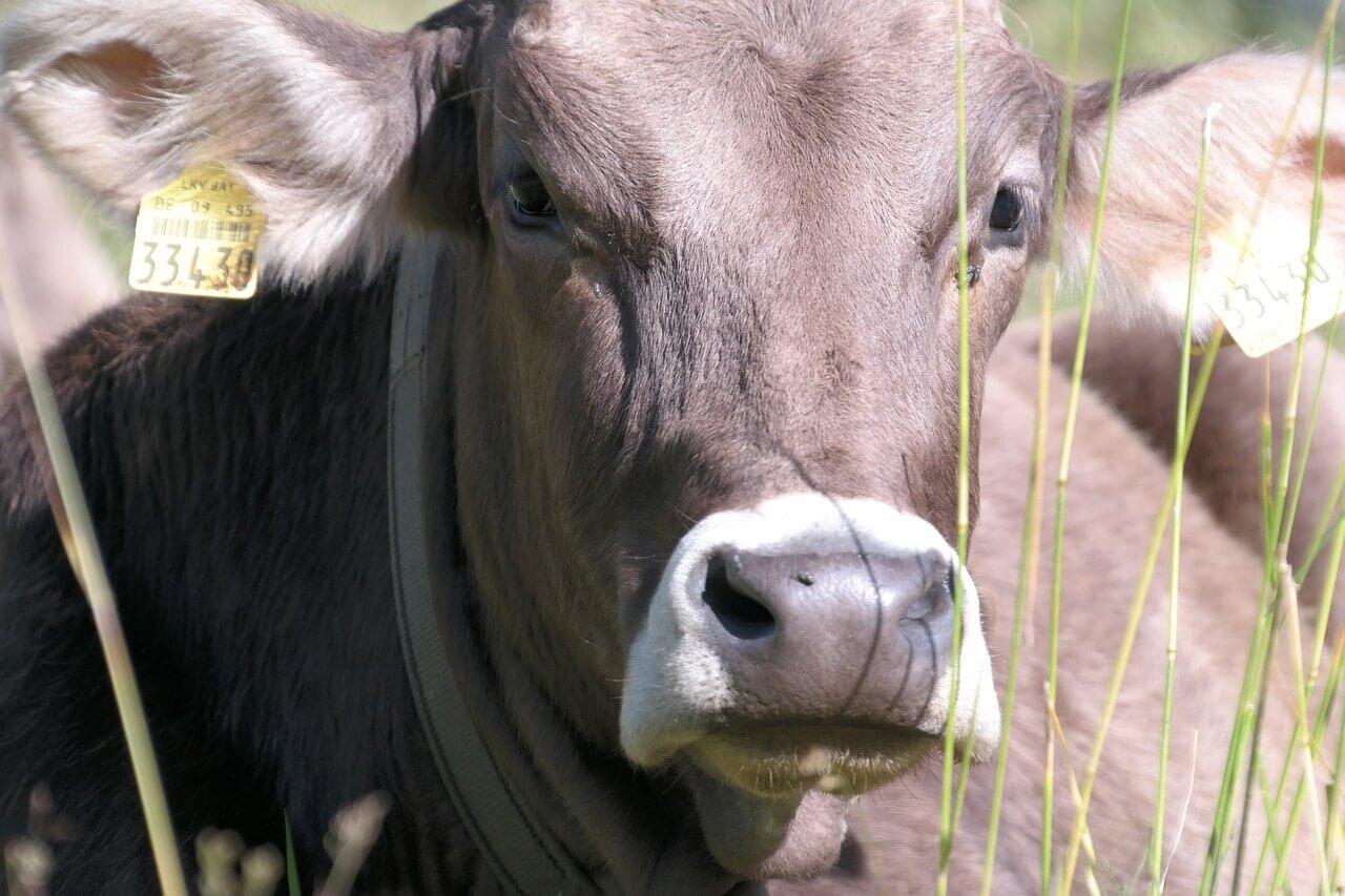 Como engordar o gado: suplemento com tecnologia comprovada