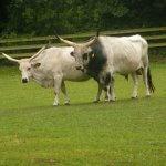 Ácido láctico afeta a exigência nutricional de vacas de leite?
