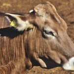Bactéria streptomyces virginae e o peso bovino