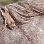 Raiva bovina: como prevenir
