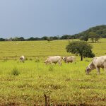 Terminação a pasto a base de grãos