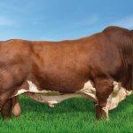 Virginiamicina em vacas e touros de exposição