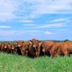 Protocolo de vermifugação de bovinos