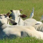 Concentrado para bovinos de corte com Virginiamicina