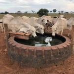 Como ocorre a diarreia em bovinos de corte