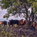 O que é FRAME bovino?