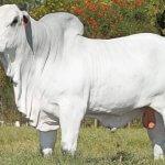 Raça Nelore: ideal para gado de corte?