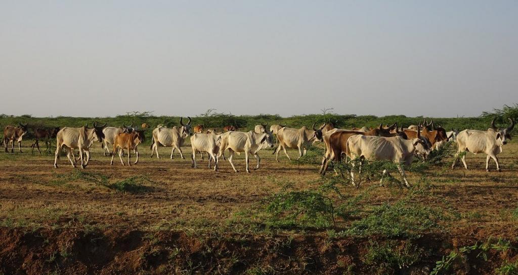 semi confinamento de gado