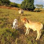 Bezerros e novilhas: confinamento de bovinos com alto grão