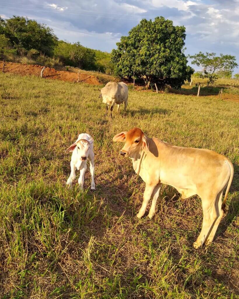 Bezerro e novilhas: confinamento de bovinos com alto grão