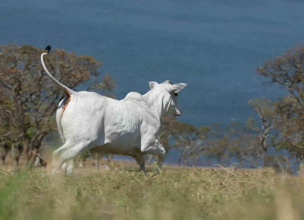 O que é conversão alimentar em bovinos