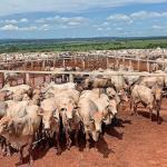 Abcessos hepáticos em gado confinado
