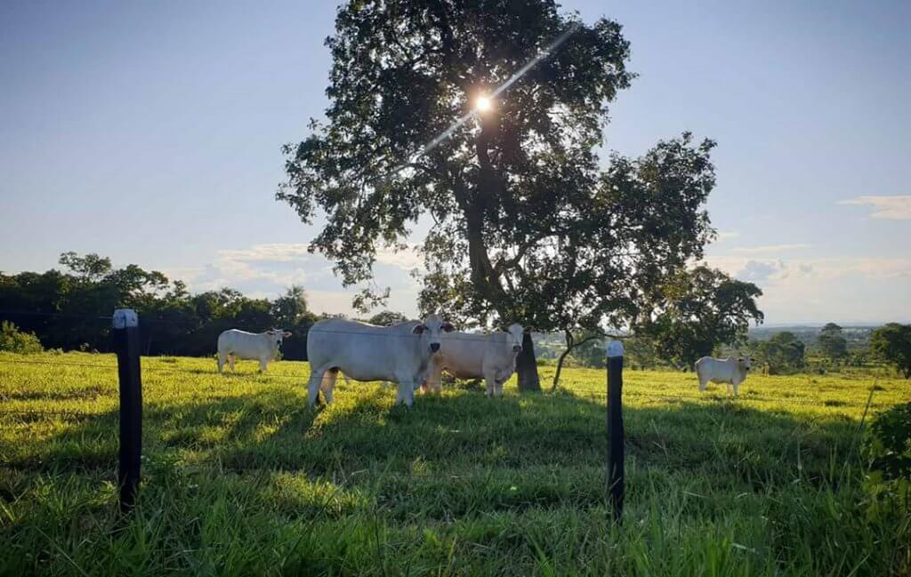 cuidados com o gado