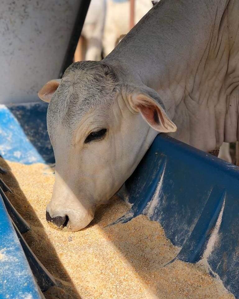 o que dar para o gado na seca