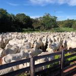 Rebanho bovino: precocidade traz bônus