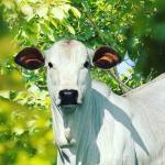 Aveia e ureia para o gado: como oferecer