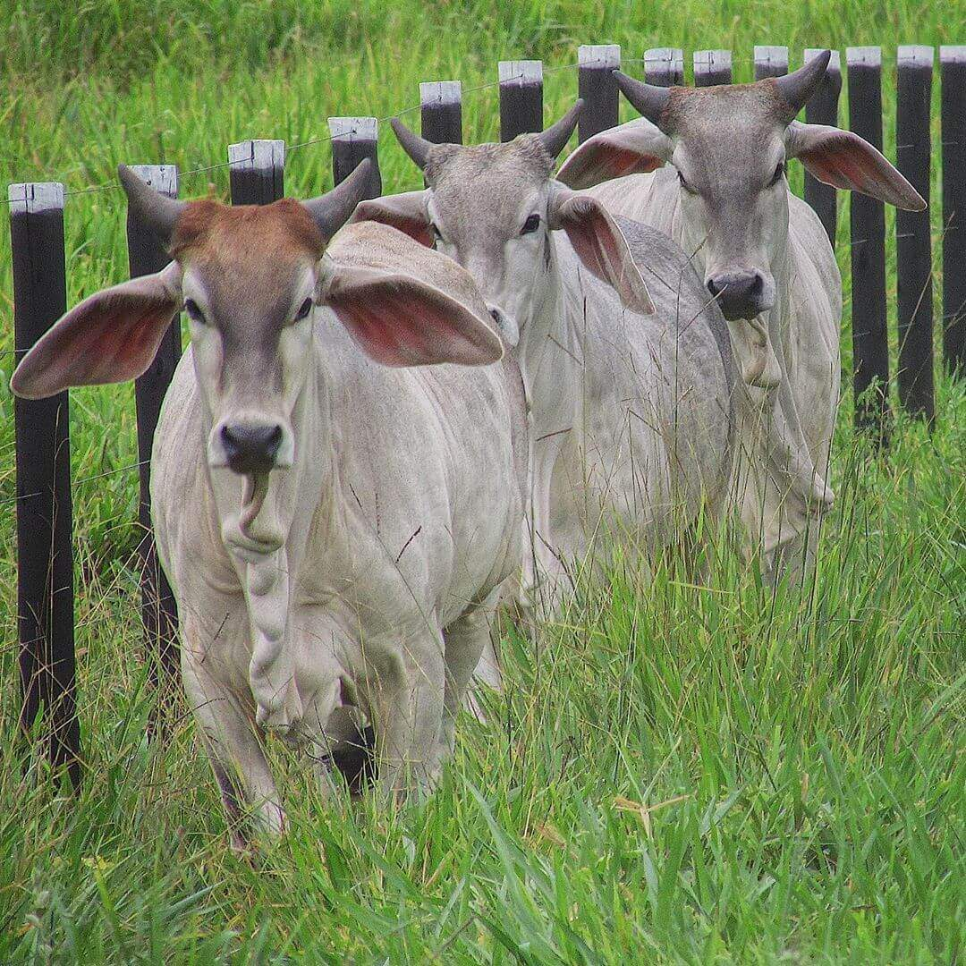 vacina para gado