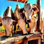 Alimentação do gado na seca: qual a duração?