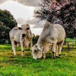 Dicas para o manejo da bovinocultura