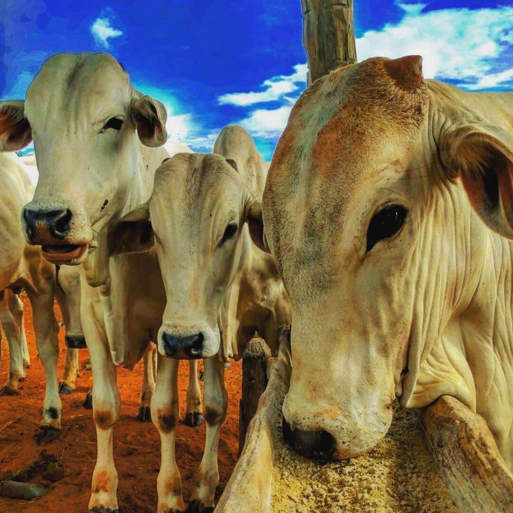 Nutrição e ração não podem ficar de fora quando o objetivo é alta produtividade na bovinocultura. Foto: José Luis Nazareth Rizzatti.