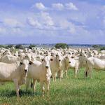 Margem de lucro com gado de corte